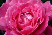 pink_rose_close_cropped--centered.jpg